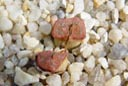 Same Conophytum wettsteinii RR430 (MG1471.2) plant on March 18th.