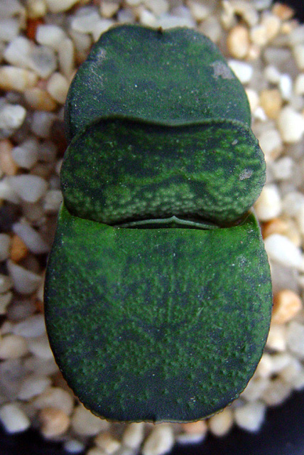 Gasteria armstrongii, dark blue-green, ex a man in Florida