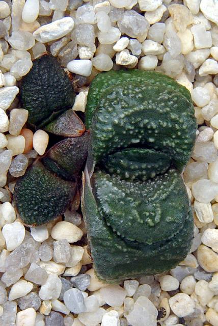 Gasteria armstrongii, offset of miniature, ex Renny Wong, ex Japan