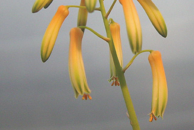 Close-up of Aloe fragilis