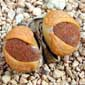 Lithops aucampae